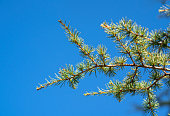 Pine branch with needles, close up