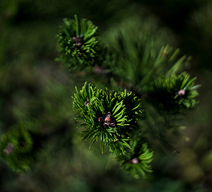 Pine branch with small cones, green background
