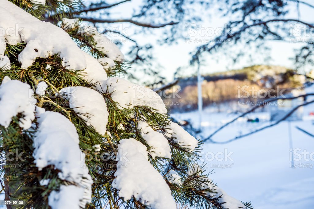 Pine branch with snow on a sunny day royalty-free stock photo