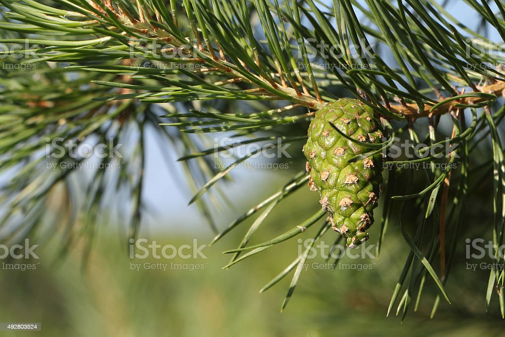 Pine branch with the green cone against foliage and the sky stock photo
