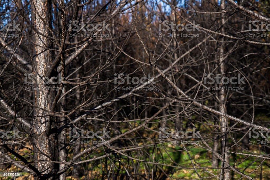 Pine branches Carbonized by fire - Ramas de pino Carbonizadas por Incendio stock photo