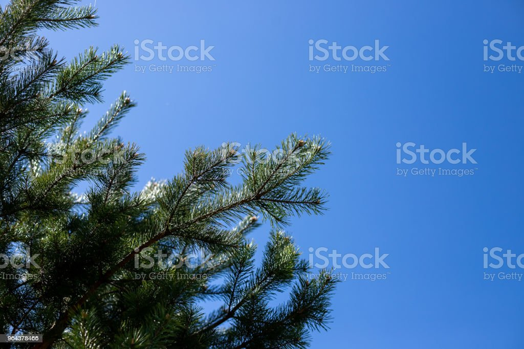 Pijnboom takken close-up shot. pijnboomtakken op de blauwe hemelachtergrond. Kopieer ruimte. Naaldboom op zonnige dag - Royalty-free Blad Stockfoto