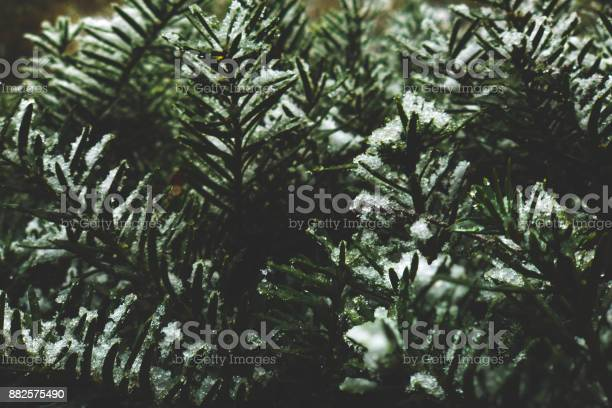Photo of Pine Branches Covered in Snow