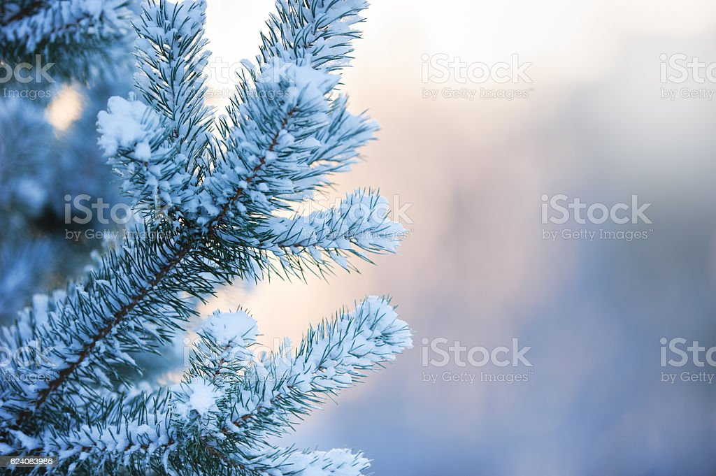 Pine branches covered with snow stock photo