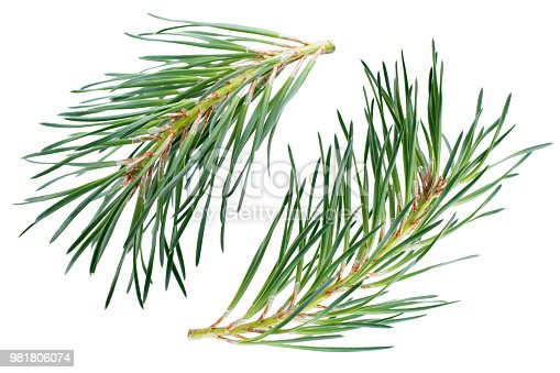 Pine branches isolated on white background.