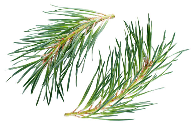 pine branches isolated on white background - pine tree stock photos and pictures
