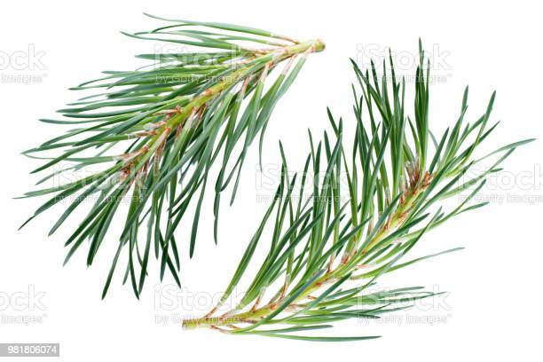 Photo of Pine branches isolated on white background