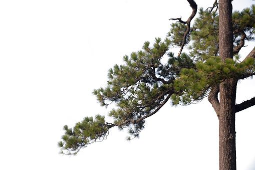 Pine  branches isolated on white background with clipping path.
