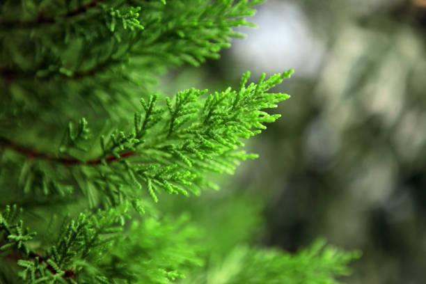 Pine Branches stock photo
