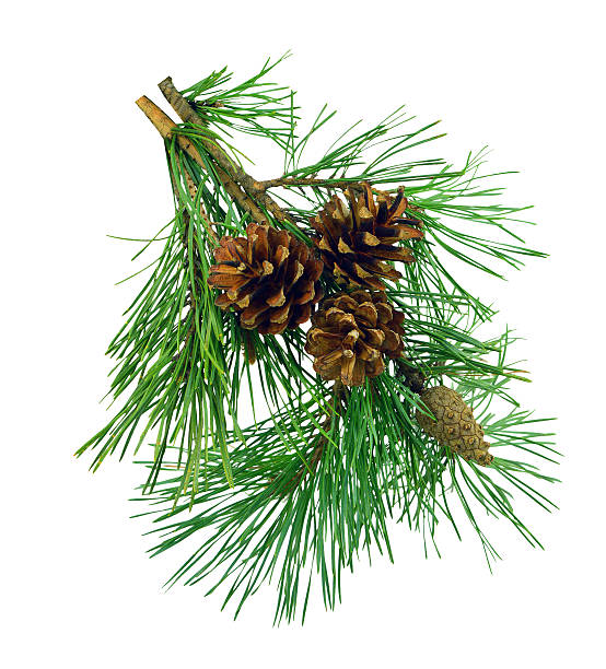 Pine branches with cones, isolated without shadow. stock photo