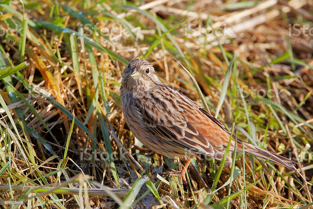Pine bunting (Emberiza leucocephalos) in grass, the Netherlands stock photo