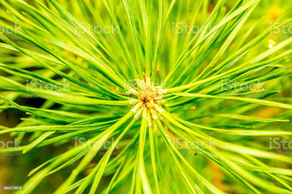 Pine Closeup royalty-free stock photo