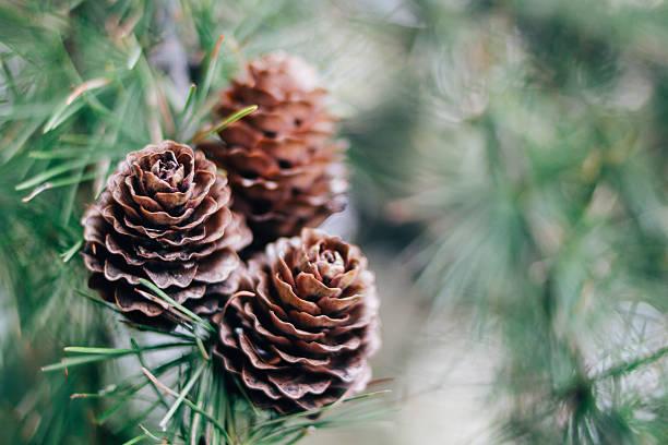 Cono y ramas de pino - foto de stock