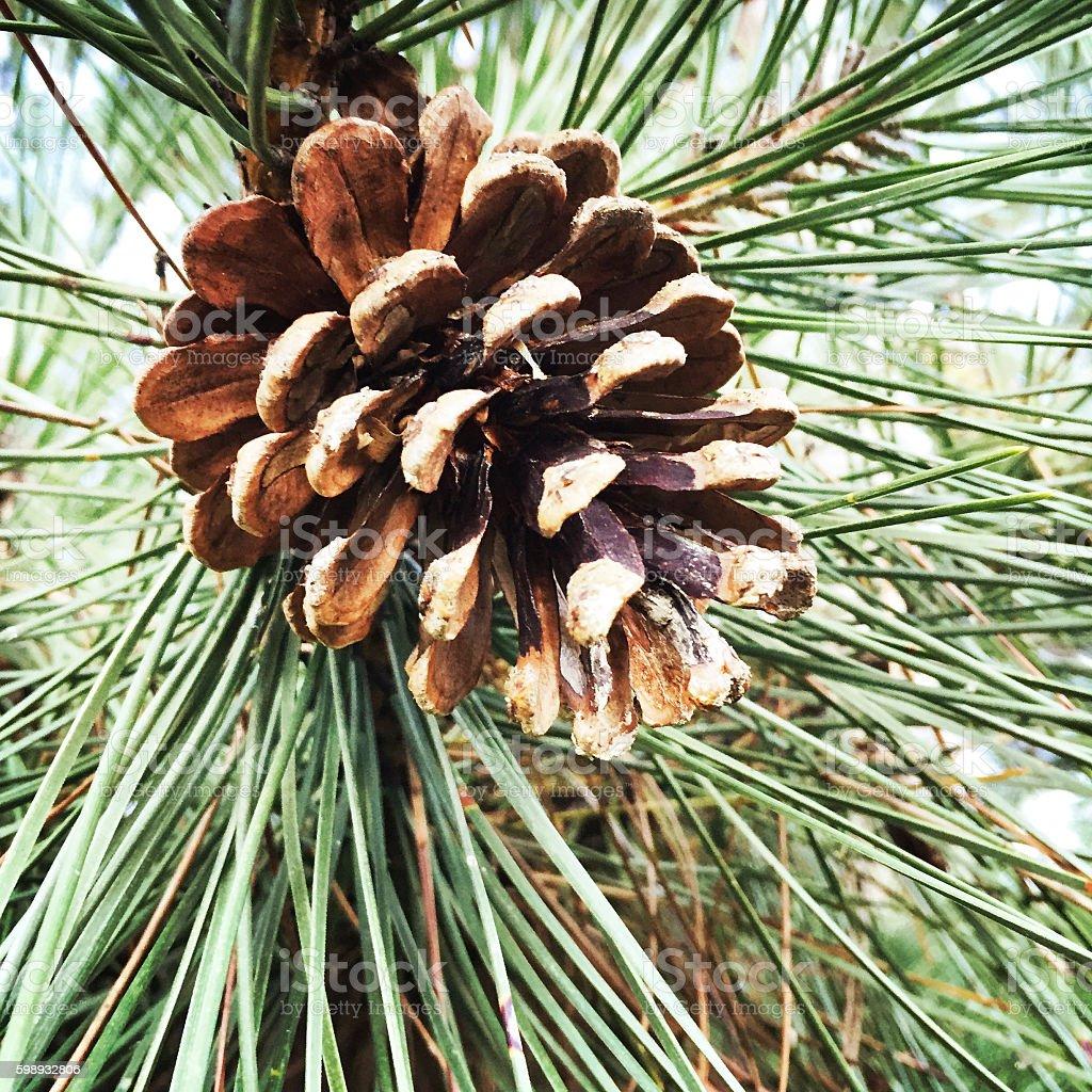 Pine Cone Tree Christmas Craft