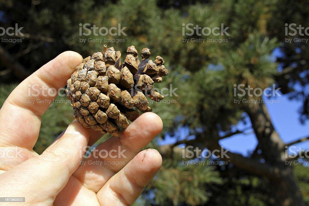Contemporáneo Anatomía Aguja Pinus Motivo - Anatomía de Las ...