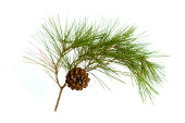 istock A pine cone hanging on a branch with green thistles 173024246