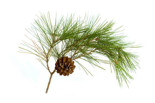 pine cone - kiefernzapfen stock-fotos und bilder