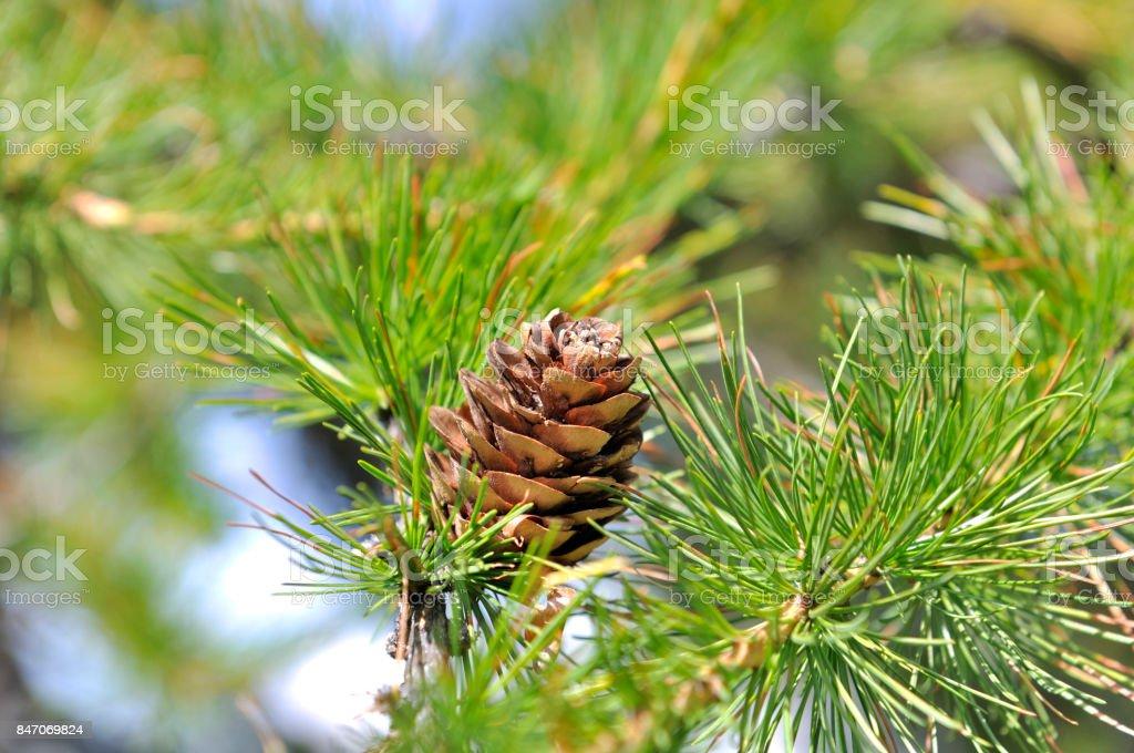 cono de pino en un alerce - foto de stock