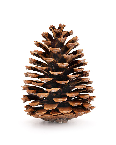 Pine cone isolated on a completely white background