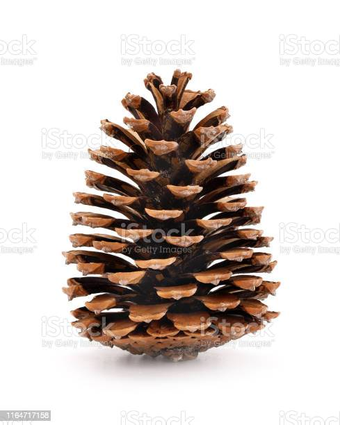Photo of Pine cone isolated on a completely white background