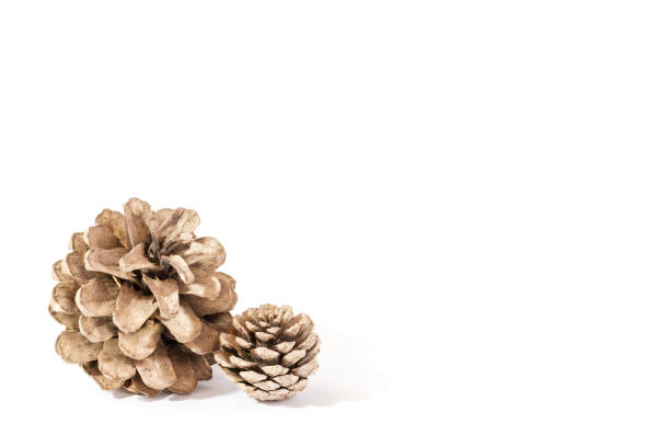 pine cone isolated on white background for Christmas decorative. stock photo