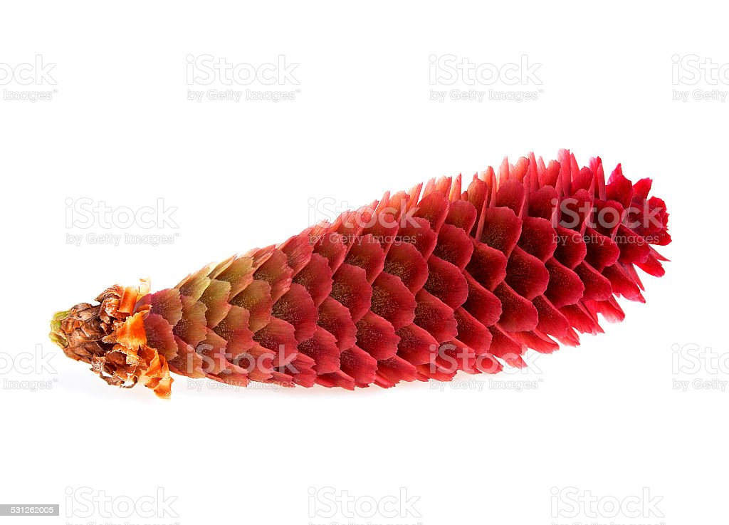 Pine cone isolated on white background stock photo