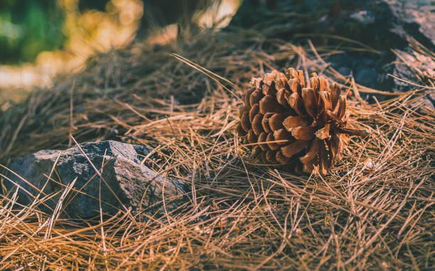 Pine cone laying in a pile of pine needles stock photo