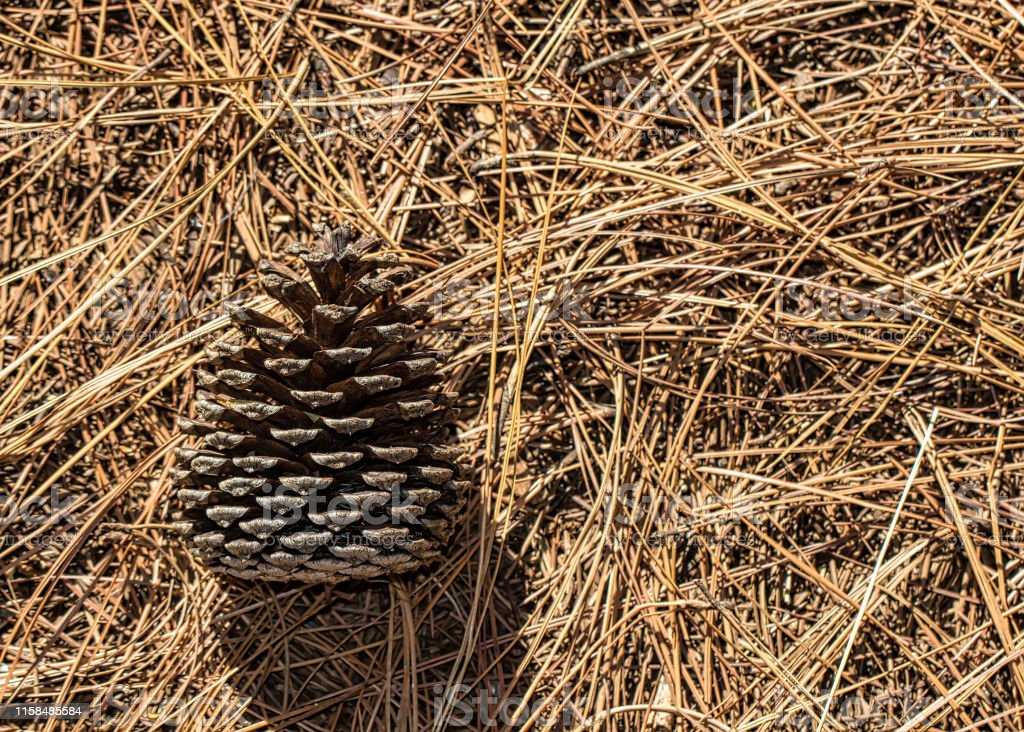 Pine cone on dried pine needles in the early morning light