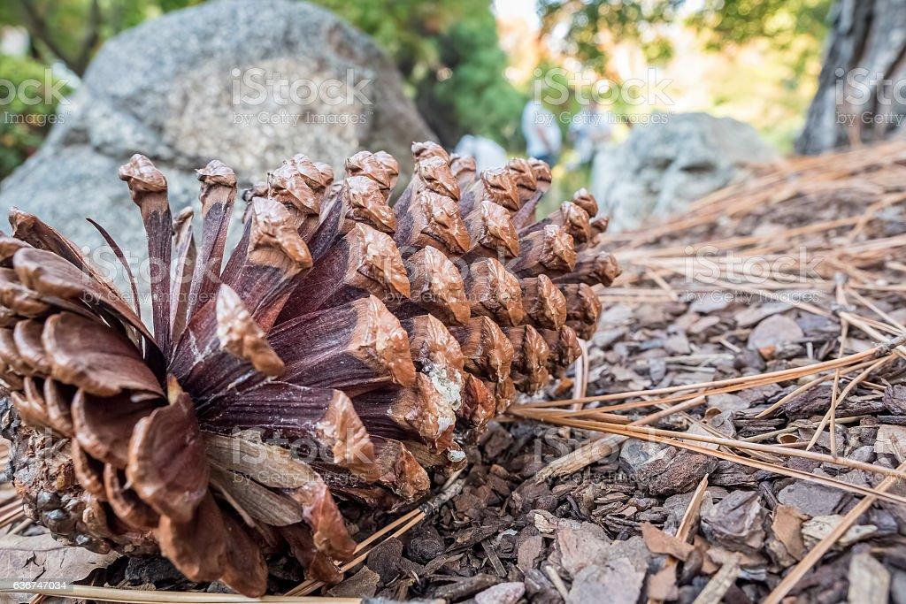 Pine cone on the ground stock photo