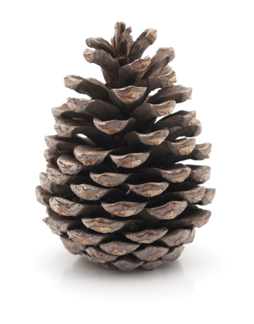 Isolated pine cone a white background.