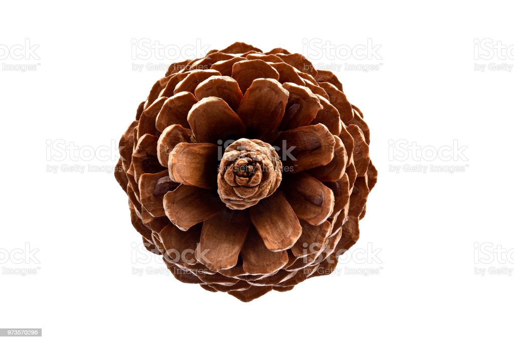 Pine Cone- Top View stock photo