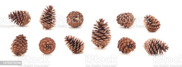 Photo of Pine cone tree fruits isolate on white background