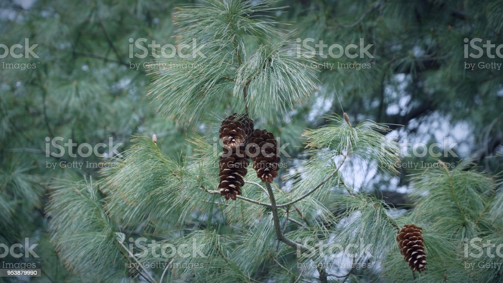 Pine cone tree with pine cones
