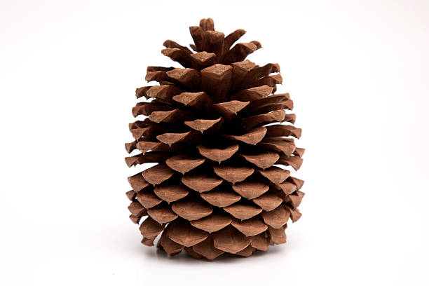 pine cone XXXL stock photo
