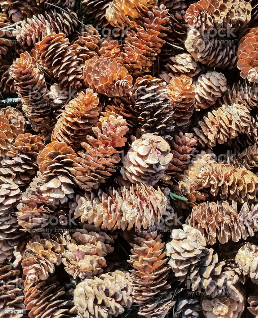Picture of pine cones. Picture was taken in Alaska, in the spring