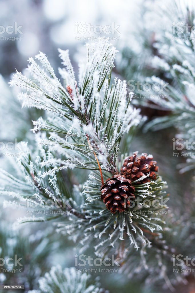 Close up of pine cones and branches covered with hoarfrost