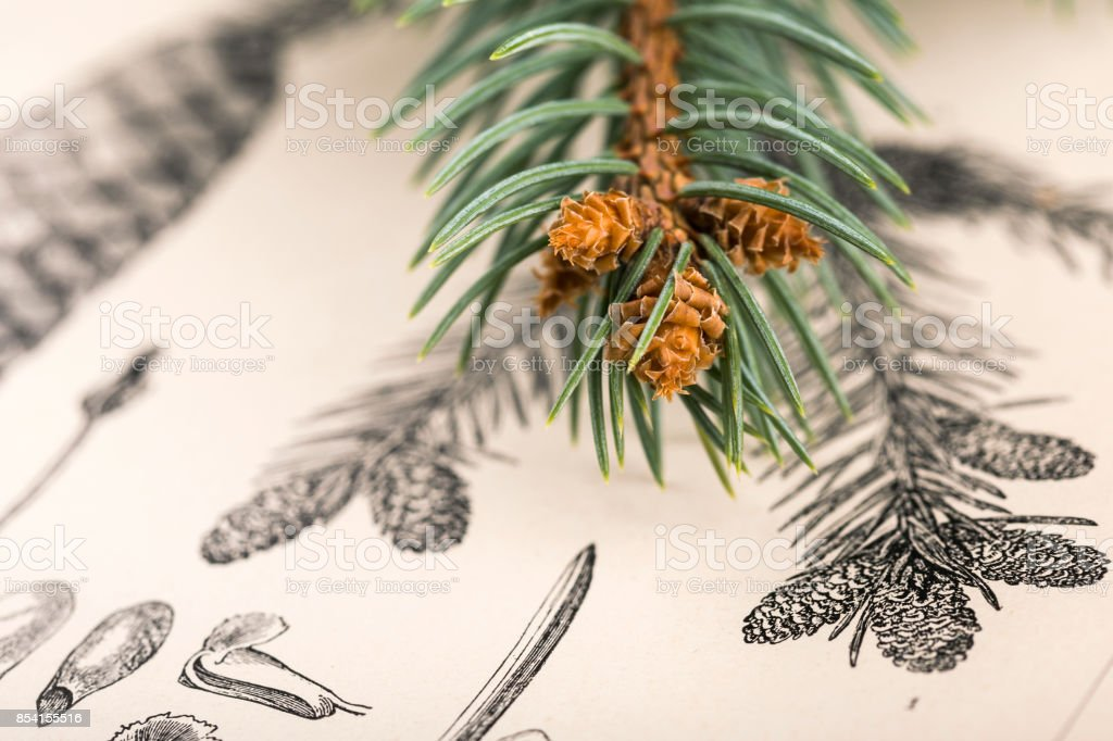 Pine cones and coniferous branch stock photo