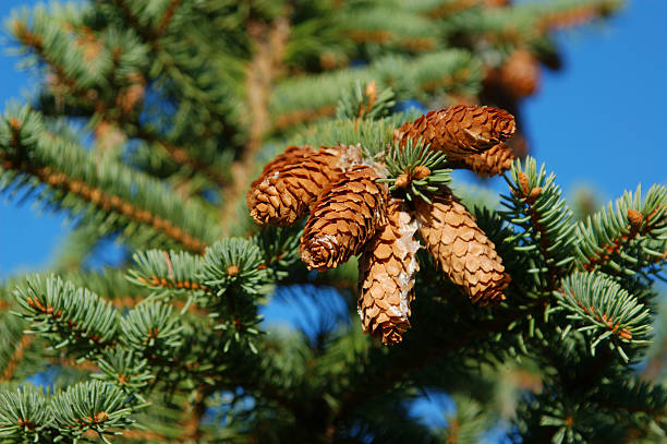 Royalty Free Pine Tree Symbolism Pictures Images And Stock Photos