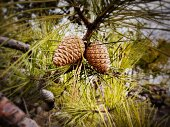 Pine Cones growing on a Branch