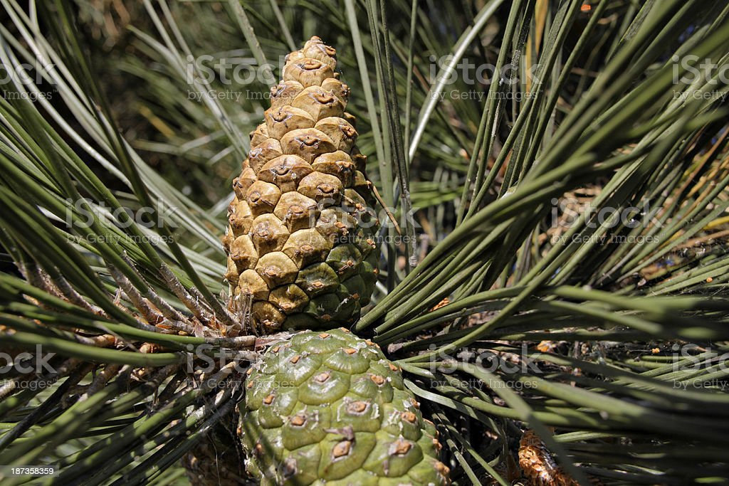 Pine cones in autumn on a black pine tree . Cones of two ages are...
