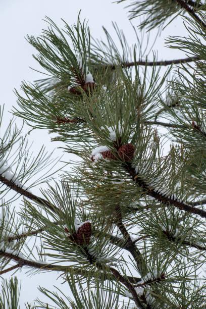 Pine cones in the snow stock photo