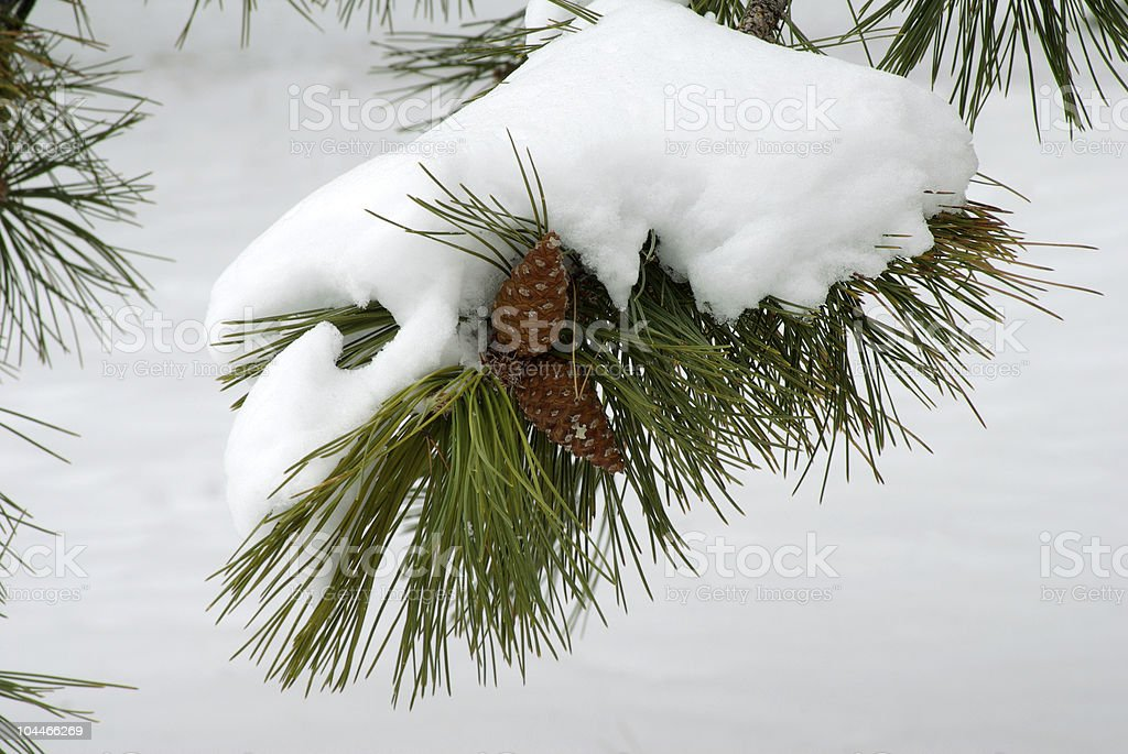 Pine cones in winter royalty-free stock photo