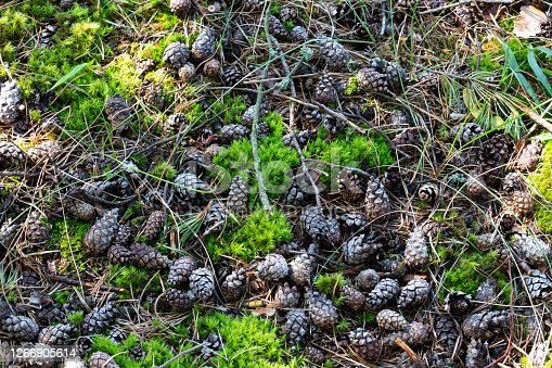 Pine cones lie on the green moss among pine needles.