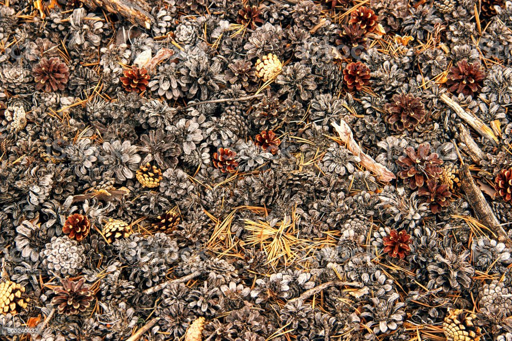 Pine cones lying on the ground royalty-free stock photo