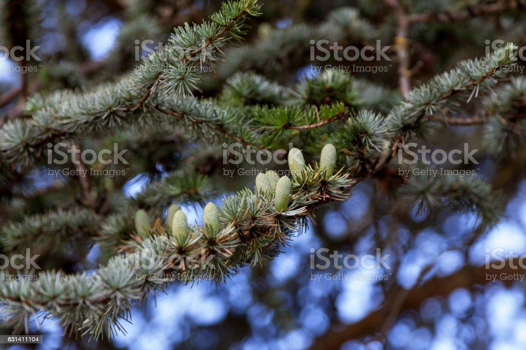 Pine cones of a Cedar of Lebanonon stock photo