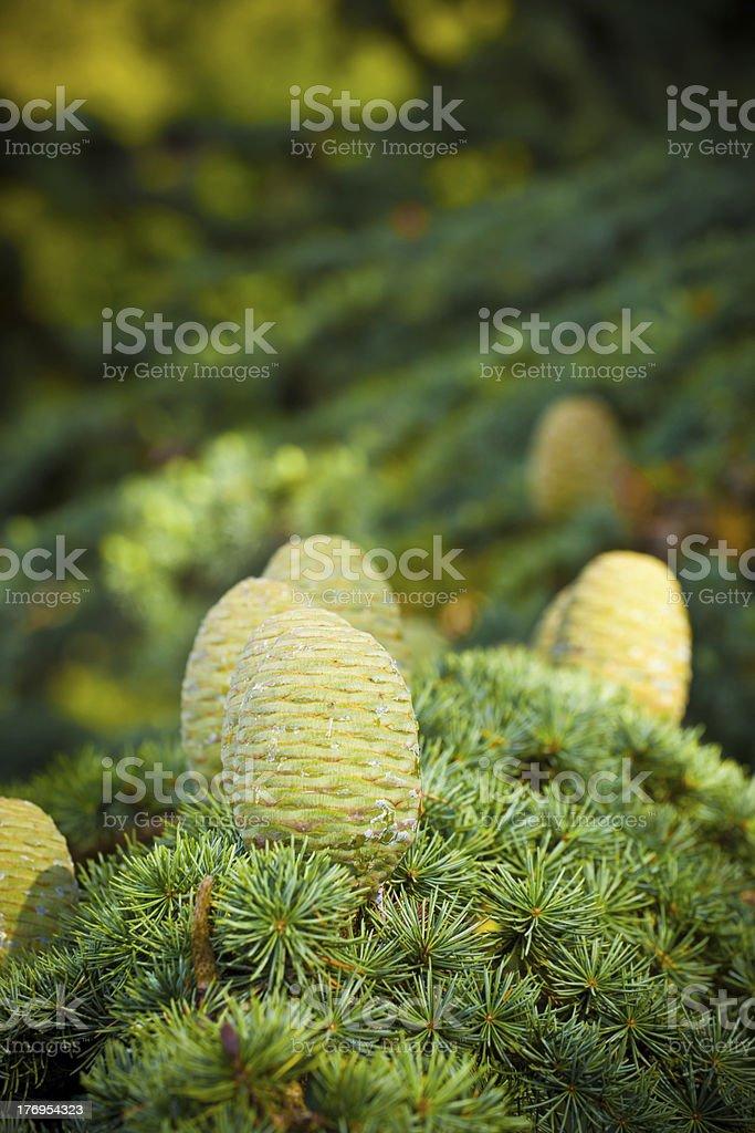 Pine cones on a Cedar of Lebanon branch stock photo