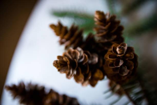 Pine Cones on Branch stock photo