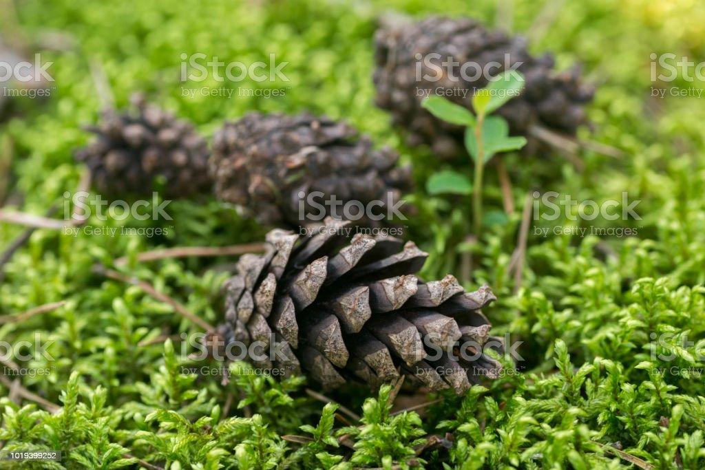 pine cones on moss macro selective focus