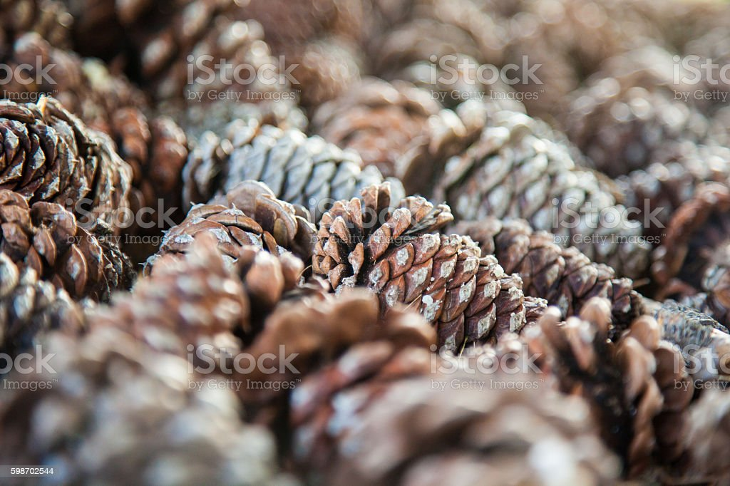 A group of pine cones on the ground nestled below a tree.