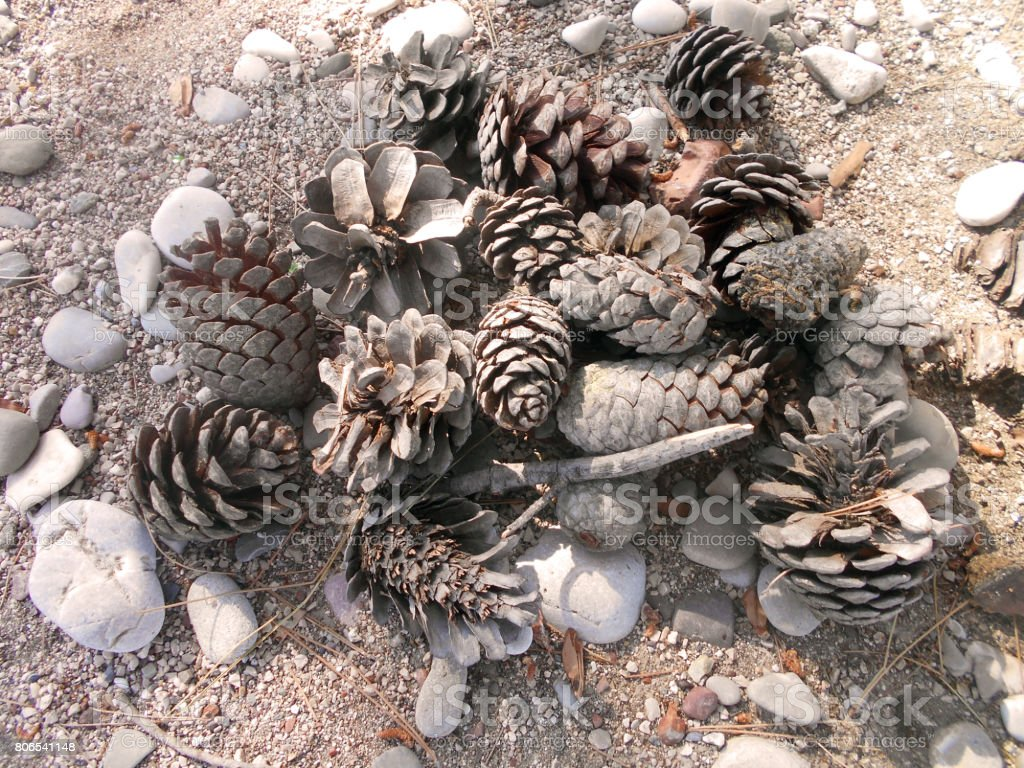 Pine cones on the ground under the pine tree